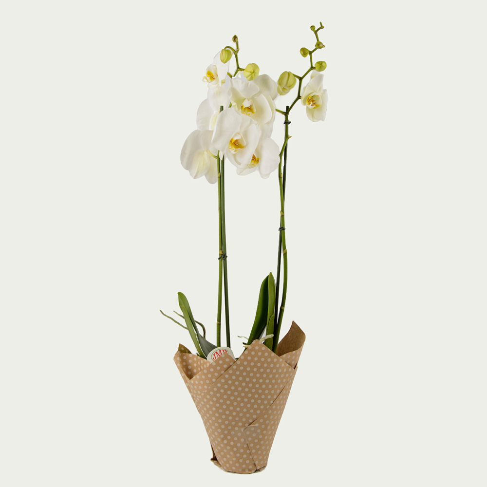 Orchid Phalaenopsis of White Color