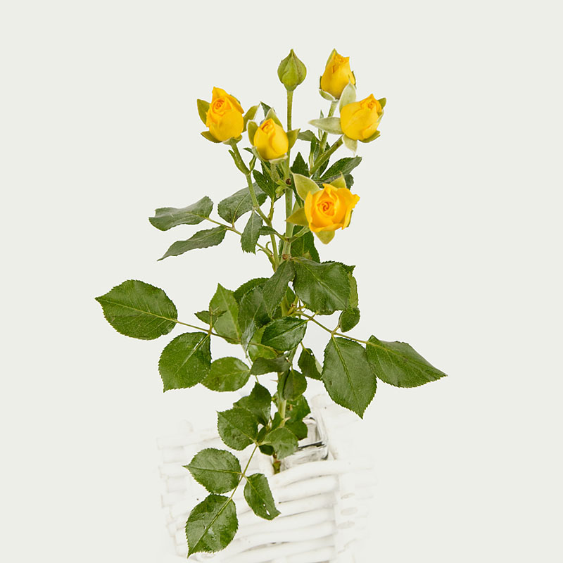 Branched Yellow Rose