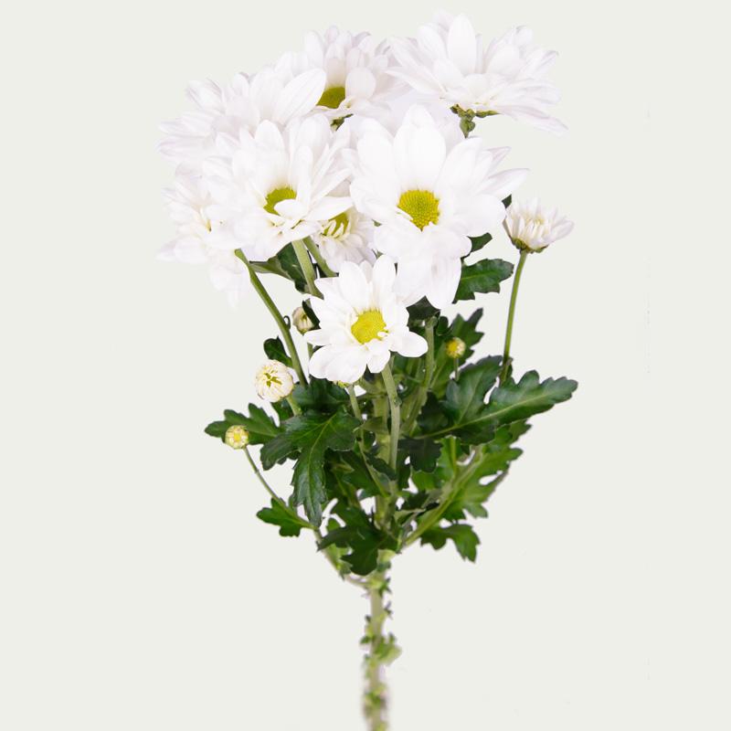 Chrysanthemum Bacardi (white)