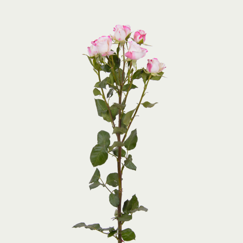 Branched Rose of White and Pink Color