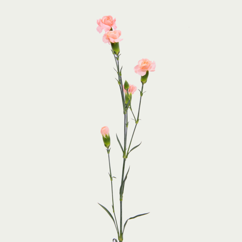 Branched Carnation of Pale Pink Color