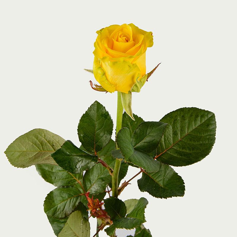 Троянда Пені Лейн